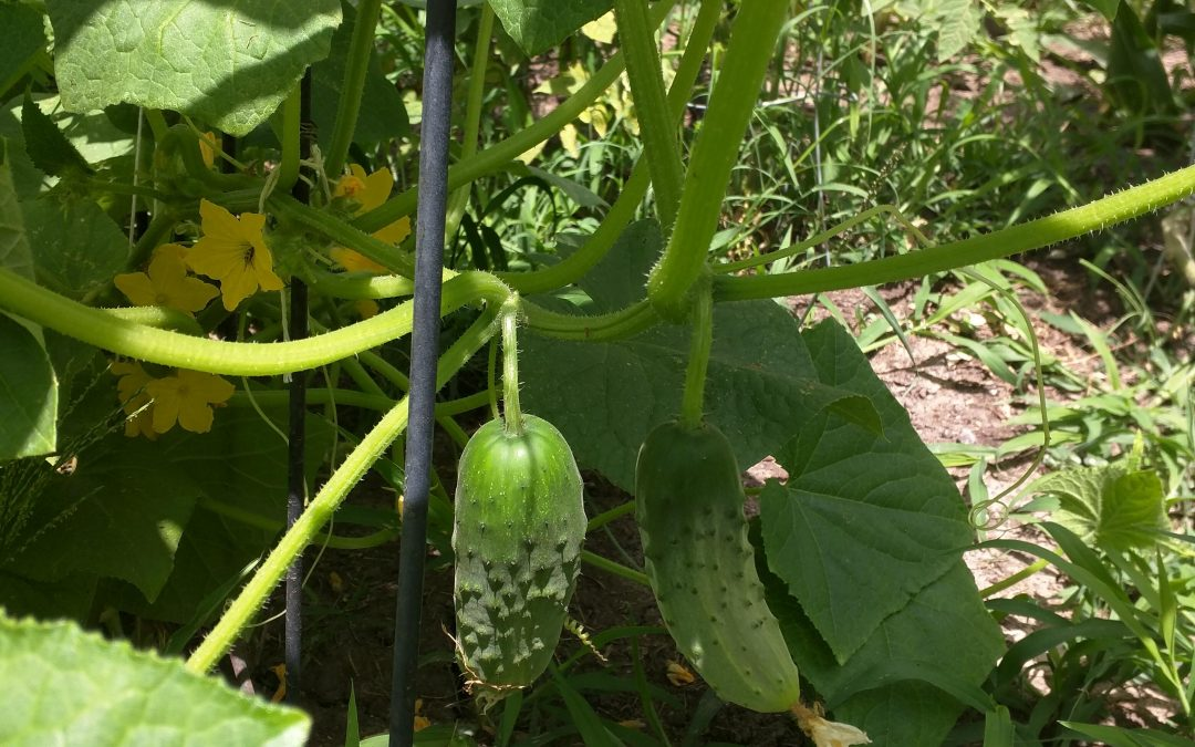 Cucumbers ready to go