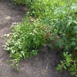 Water / top heavy tomato plant