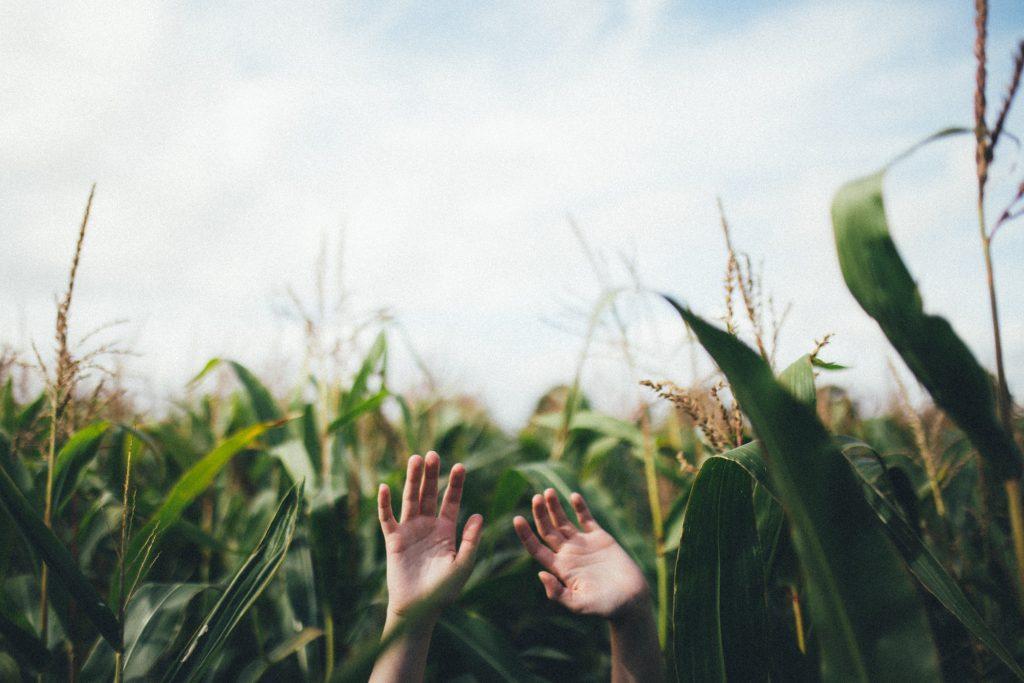 Hands up in corn