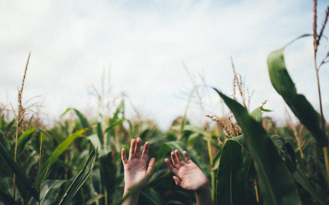 Corn field, hands up