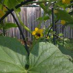 bee on cucumber flower