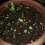 bell pepper sprouts growing