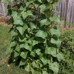 Cucumber plants growing