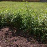 Tomato plant growth