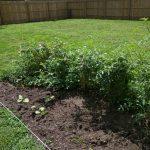 remaining bean plants