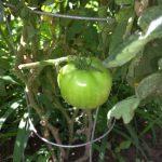 First beefsteak tomato