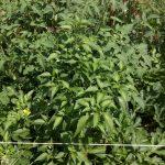 watermelon attacking serrano plant