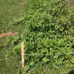 watermelon vines wound through the garden